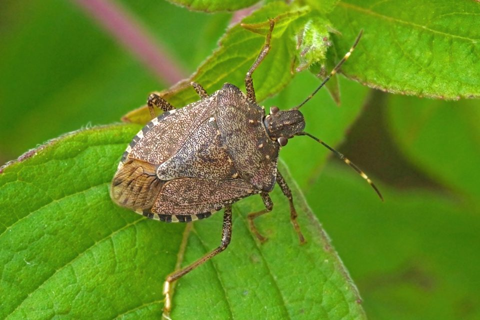 Increases in temperatures are bringing earlier springs in the US, giving the stink bug more time to feed on plants.