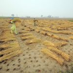A new study has found that principal crops like wheat, maize, and rice will be impacted by future changes to rainfall patterns caused by climate change.