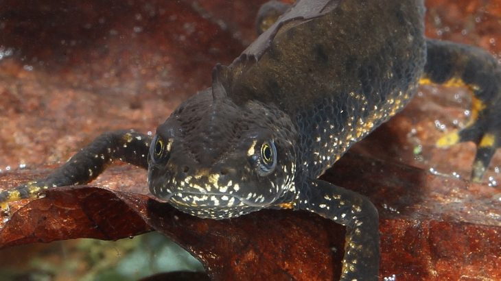 The UK's wild newt population appears to be unaffected by the lethal flesh-eating fungus that has been plaguing privately-owned amphibian populations.