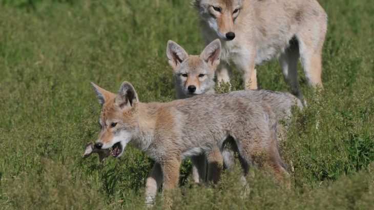 A new study shows that coyote parents who are unafraid of being near people raise pups that have the same fearlessness.