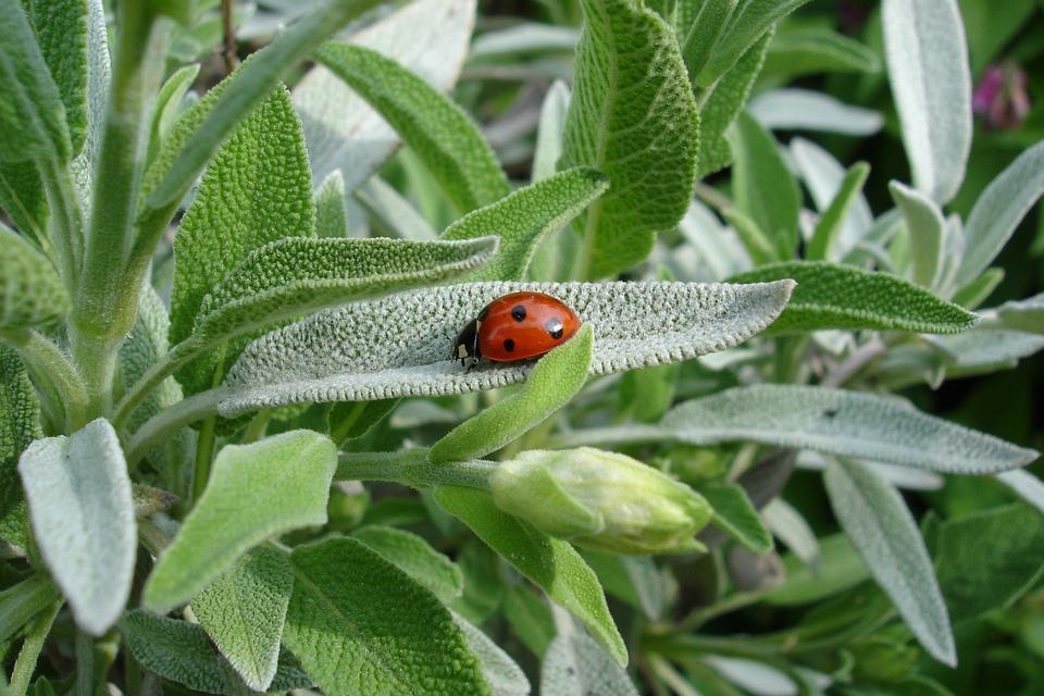 sage ladybug