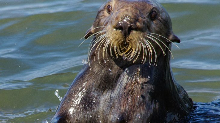 Sea otters are the only marine mammal to use stone tools, often using stationary rocks along the shoreline to crack open mollusks.