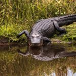 An analysis of how alligators determine where sounds are coming from has revealed that reptiles and birds may have evolved spatial hearing independently of mammals.