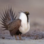 The Trump administration announced plans to loosen sage grouse protections, which would make it easier for oil and gas companies to drill in those habitats.