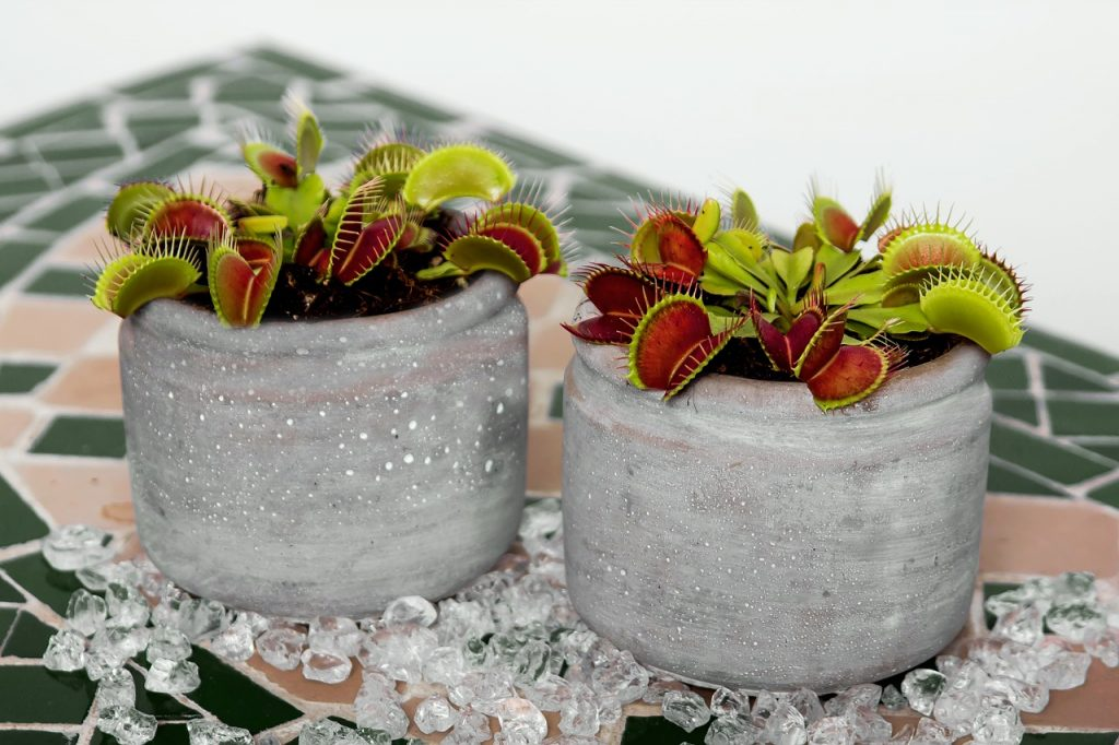 venus flytrap carnivorous plants to keep at home