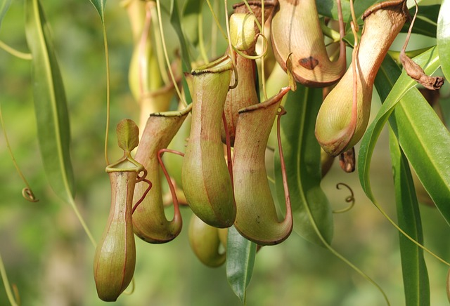 pitcher plant carnivorous plant you can keep at home