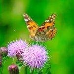"""Huge swarms of butterflies known as """"painted ladies"""" are captivating audiences in Southern California this month as they make their annual trip to the Pacific Northwest. Huge swarms of butterflies known as """"painted ladies"""" are captivating audiences in Southern California this month as they make their annual trip to the Pacific Northwest."""