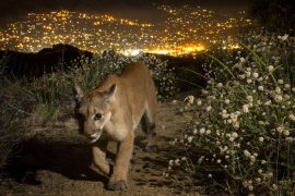 Two species of mountain lions located in California's Santa Ana and Santa Monica Mountains are at risk of going extinct within 50 years.