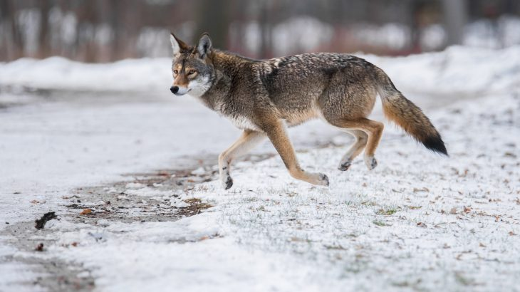 A recent investigation into deer populations across the eastern U.S. has revealed that coyotes do not affect deer numbers on a large scale.