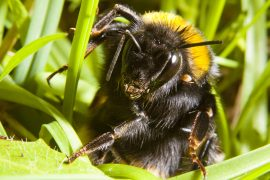 Researchers have found that after hibernating in the winter, queen bumblebees spend most of their time resting under dead leaves and grass.