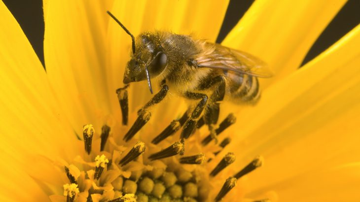 A new study from the U.S. Department of Agriculture has found that honey bee colonies become more healthy and productive with a cover of clover species and alfalfa.