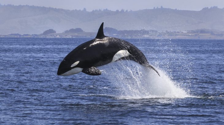 Previously, type D orcas were known to science only by amateur photographs and have never been studied by professional marine biologists... until now.