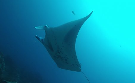 The sighting of a pregnant manta ray off the Cocos Island in Costa Rica in the eastern Pacific Ocean is making waves among marine scientists.