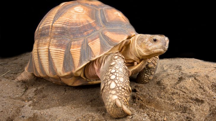 The Ploughshare tortoise is currently listed as Critically Endangered on the IUCN Red List as a result of smuggling for the pet trade and human-caused fires.