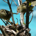 Experts at the University of East Anglia have discovered that when female birds have help raising their offspring, they live longer and healthier lives.