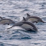 A team of researchers led by the University of Miami has found that toxic chemicals in ocean algae may be causing neurodegeneration in dolphins.