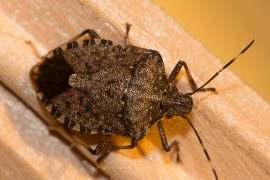 Exotic brown marmorated stink bugs were first recorded in the United States in 1996, and they most likely arrived in shipments from China.