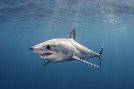 The IUCN Shark Specialist Group evaluated 58 shark species found that and 17 shark species are now classified as facing extinction.
