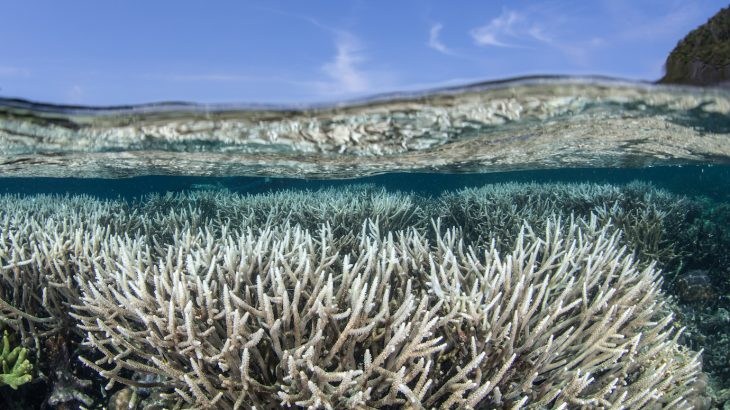 A new study has revealed that corals near the equator experience less bleaching and that reefs along the equator are more resilient to ocean warming and acidification.