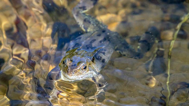 amphibian frog underwater breathing