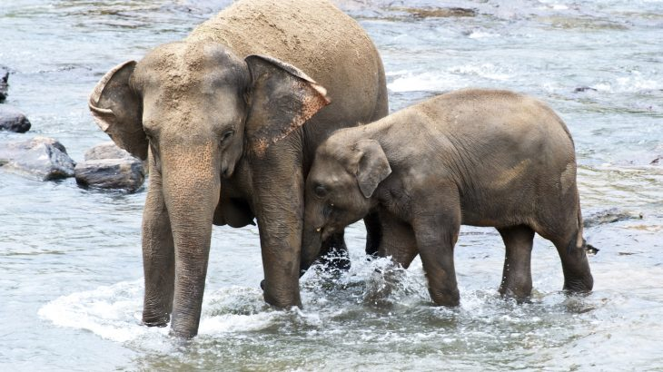 Nearly one-third of Asian elephants in India, Myanmar, and Thailand live in captivity, either as working elephants in the timber industry or in tourism.