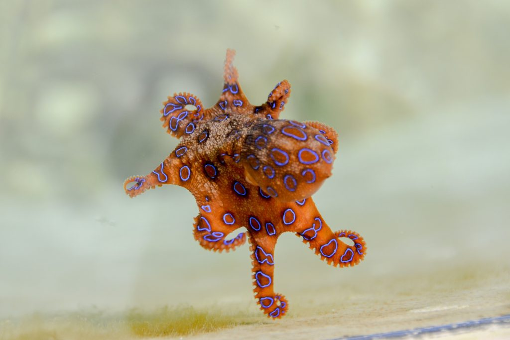 A blue ringed octopus with an orange body and blue circles