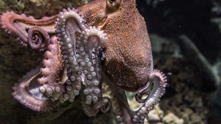 Large octopus moving over rocks underwater