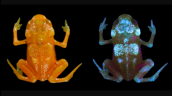 Pumpkin toadlets are colorful miniature frogs that live in the Brazilian Atlantic, but now researchers have discovered that these frogs are fluorescent.