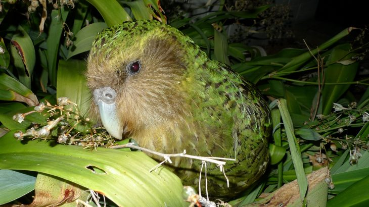 "Dubbed the ""strangest parrot on Earth,"" New Zealand's kakapo (caw-caw-poe) were on the brink of endangerment less than 50 years ago."