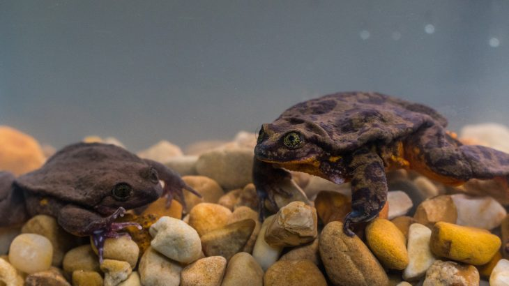 Romeo, a Sehuencas water frog collected from Bolivia ten years ago, has finally found his Juliet and the two seem to be settling in quite well together.