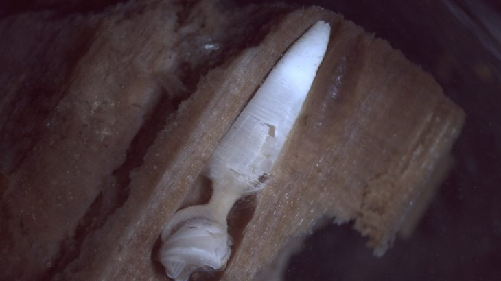 Experts have found that these wood-boring clams play an important role in cleaning up the wood that accumulates in the bottom of the ocean.