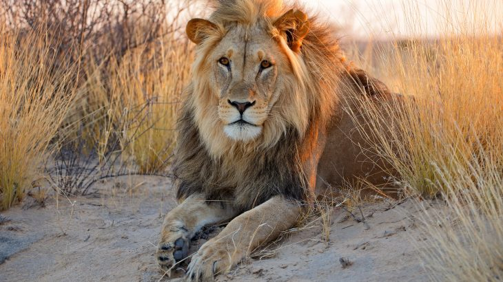 The genetic diversity of African lions has declined substantially since the late 19th century, leaving the animals more susceptible to reduced fitness and resilience.