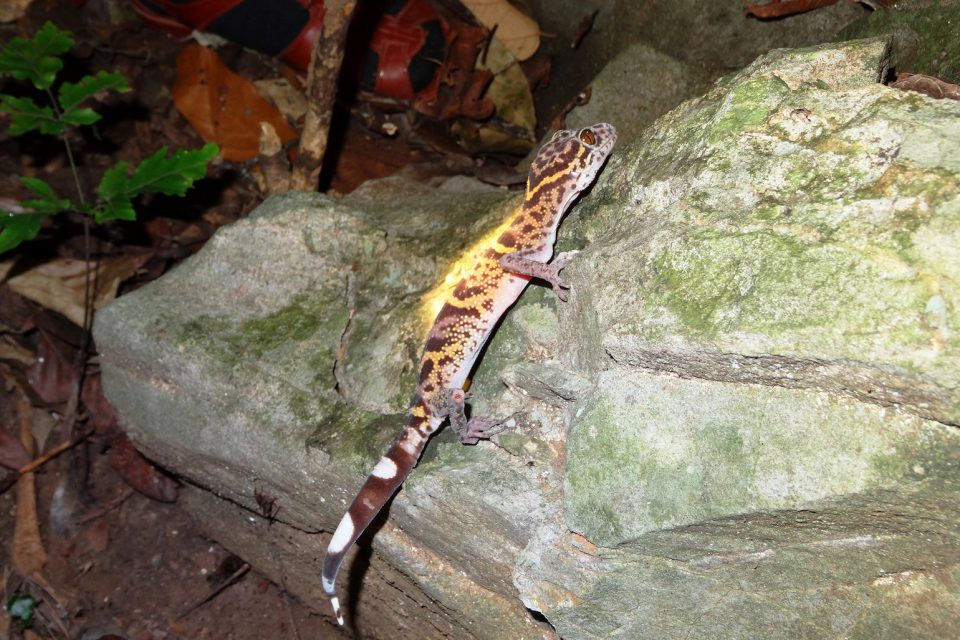 Tiger geckos, a genus of 19 gecko species native to Vietnam, China, and Japan, are at risk of extinction, mainly due to being sold in the exotic pet trade.