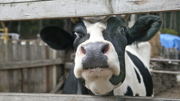 "A Dutch inventor has developed a ""cow toilet"" that collects cow urine, and it's an innovative device that could help limit the amount of ammonia that enters the environment from farms."
