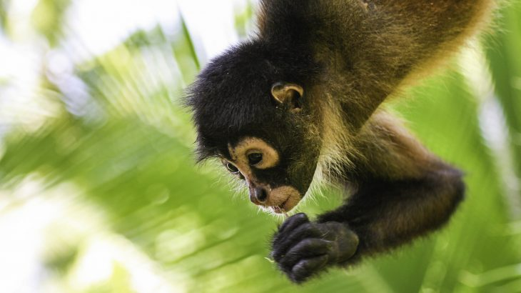 New research has revealed that spider monkeys change the pitch of their calls if they're separated from their groups.