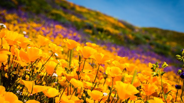 Southern California has been the heart of this particular super bloom, much of the landscape being covered in a veritable sea of golden poppies.