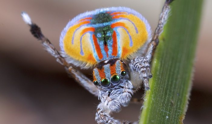 The aptly named peacock spider (Maratus volans) is a superstar when it comes to arthropod mating displays.