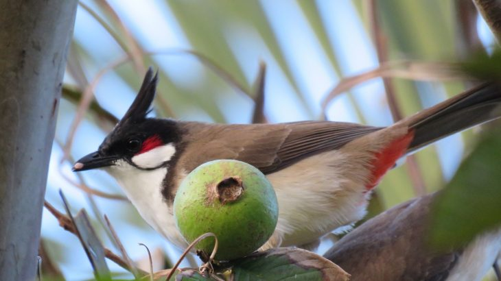 A new study has revealed that local plants on the island of Oahu now depend almost entirely on invasive birds to disperse their seeds.