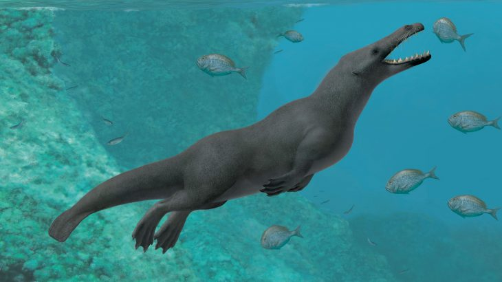 Researchers have unearthed a 42.6 million-year-old four-legged whale from ancient marine sediments on the coast of Peru.
