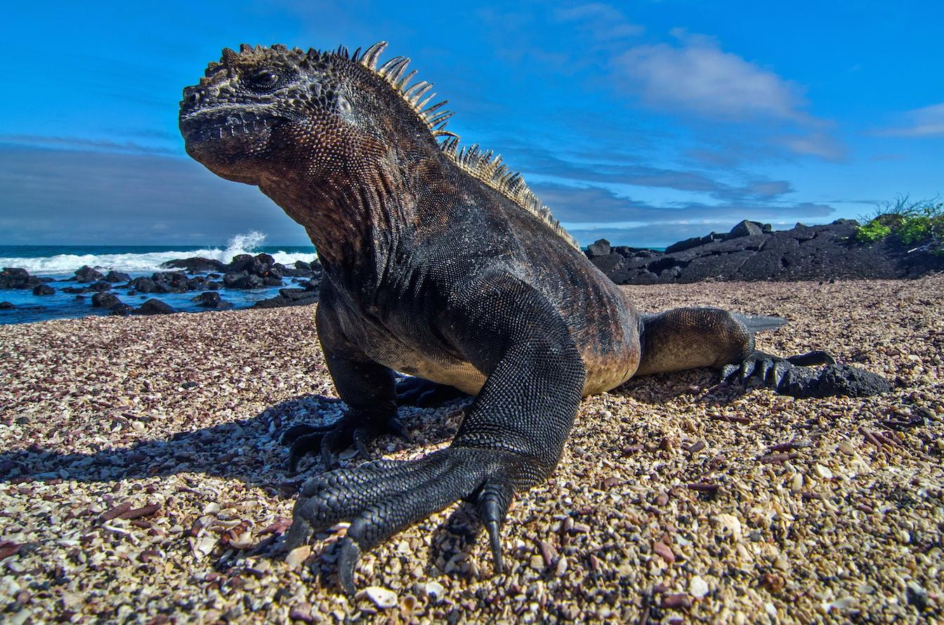Игуана морская картинки