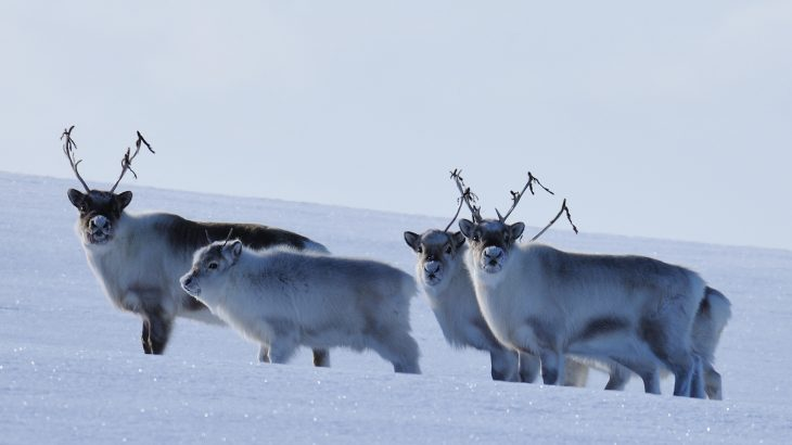 Climate change is impacting the health of Arctic reindeer as they struggle to access the grass and plants that they need for survival.