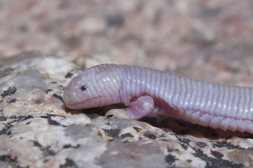 A mole lizard, macro photo of a mole lizards head and legs on a rock.