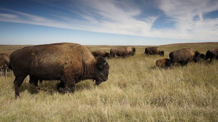 bison herd grassland