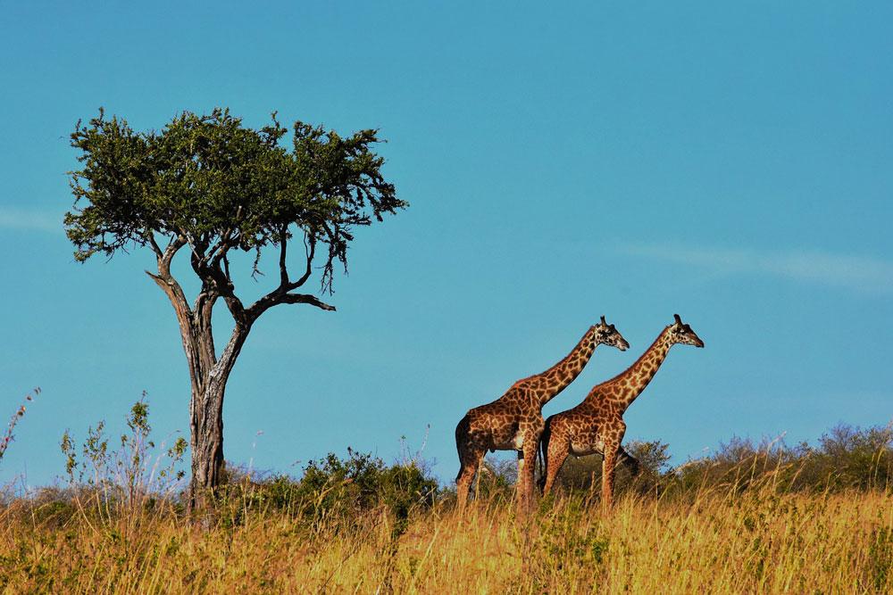 giraffe pair savanna