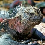 Marine iguana with red coloration laying on the sand.t