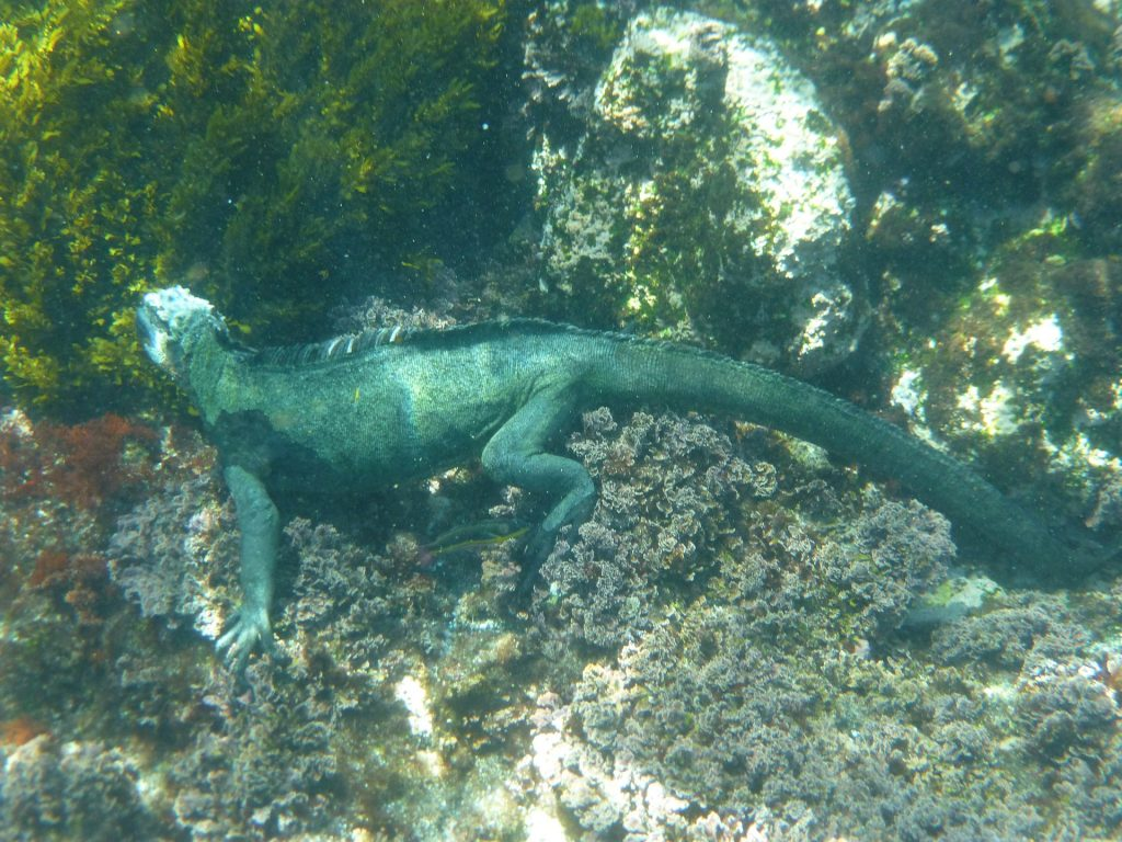 A marine iguana underwater near the ocean floor eating algae off of a rock.