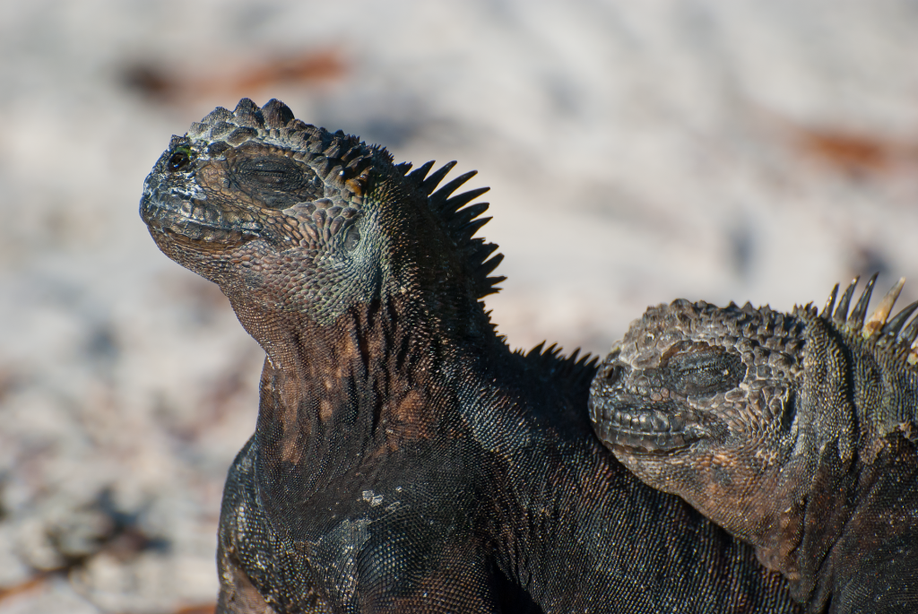 Two marine iguanas with their eyes closed