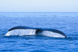 Seven new North Atlantic right whale calves have been spotted in Cape Cod Bay off the coast of Massachusetts this year.