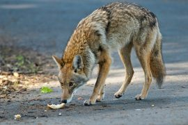 According to a new study from North Carolina State University, carnivores like coyotes and bobcats are interacting at a higher rate.