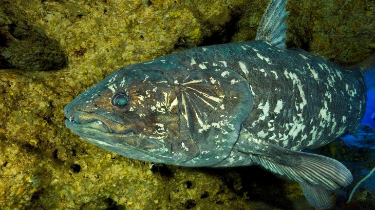 An analysis of the coelacanth, Latimeria chalumnae, is also answering questions about the skull and brain development of vertebrates.